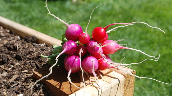 Mixed Radishes | The Coeur d'Alene Coop