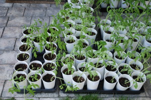 Hardening off tomato plants | The Coeur d Alene Coop