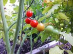 Red Sun Golds | The Coeur d'Alene Coop