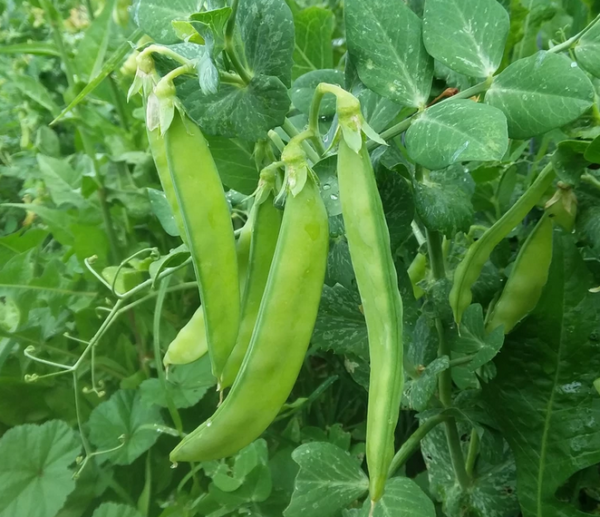 Blizzard Snow Pea | The Coeur d'Alene Coop